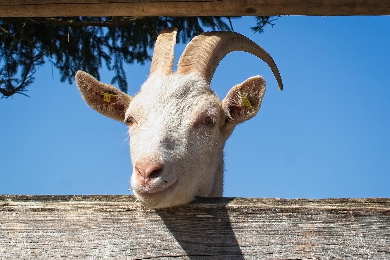 сих уши козы картинка вас