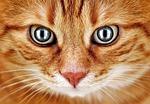 złe spojrzenie, kot, czerwony