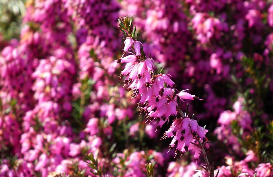 Erica, Fleurs, Nature, Floraison, Jardin, Printemps