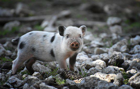 Piglet, Small Pigs, Mini, Cute, Sweet