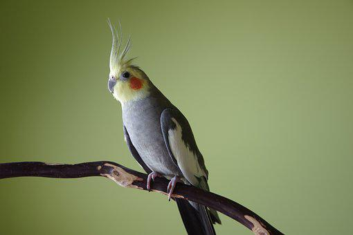 60+ Free Cockatiel & Bird Photos - Pixabay