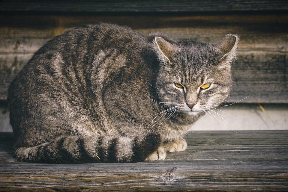 domácí velká kočička
