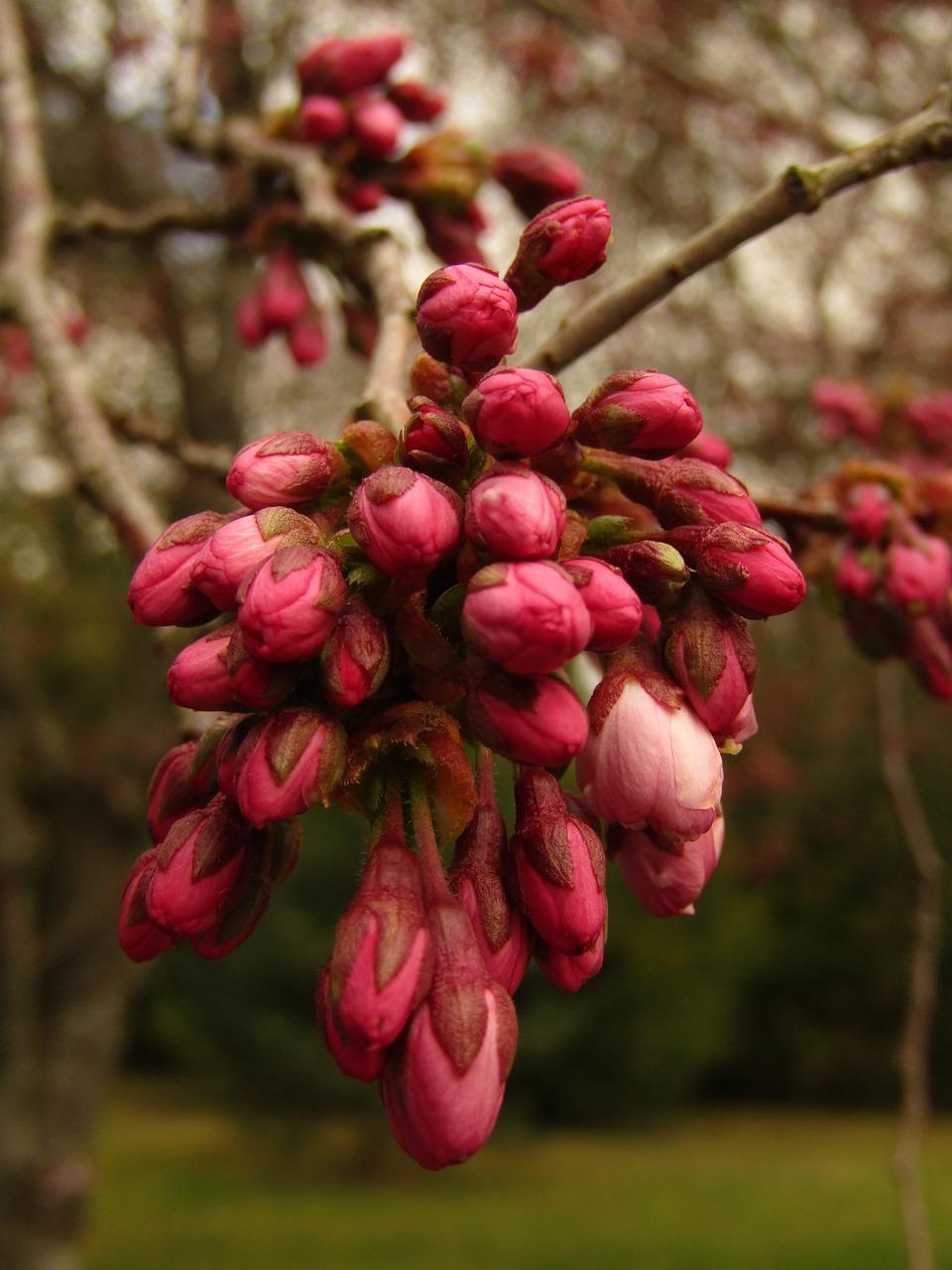 сакура плоды фото и описание создания качественного
