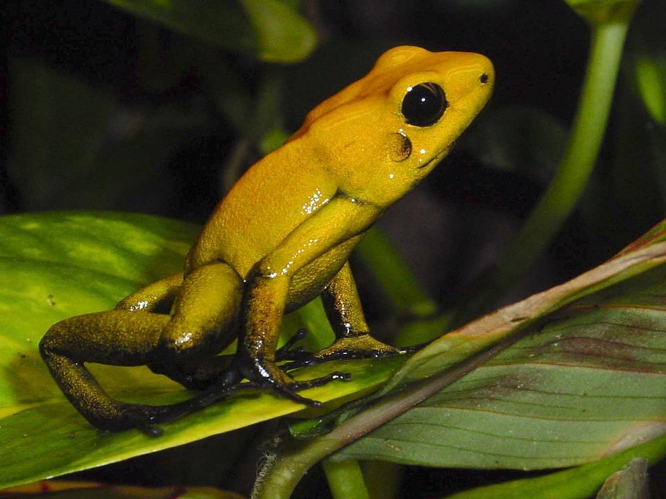 Amphibians Poison Frog Free Photo On Pixabay