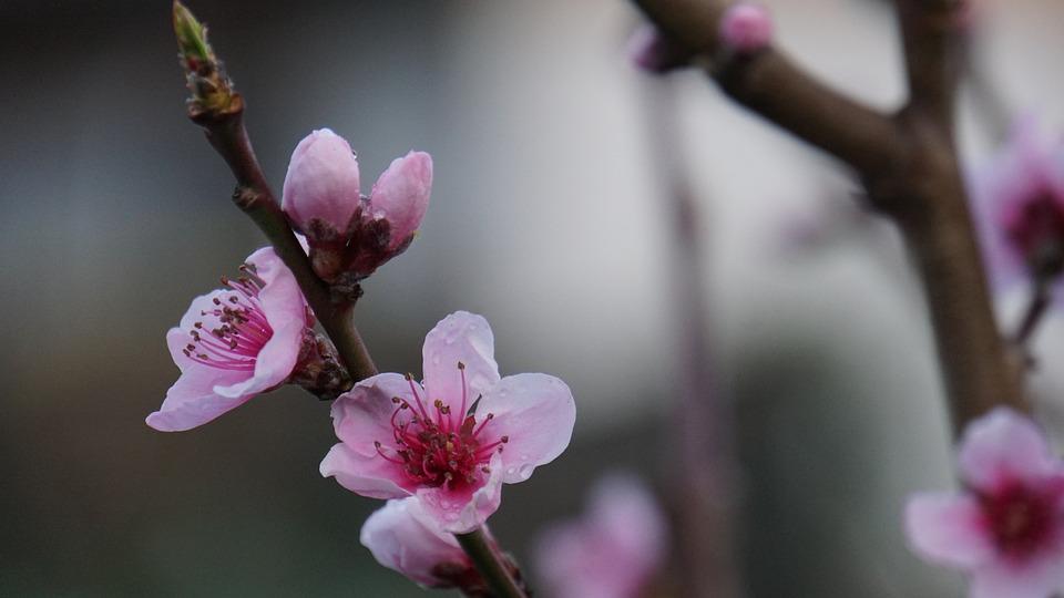 花, 桃花, ピンク, 自然, 庭, 木, 植物, 桃の木, ウェット, Morgentau, スプリング