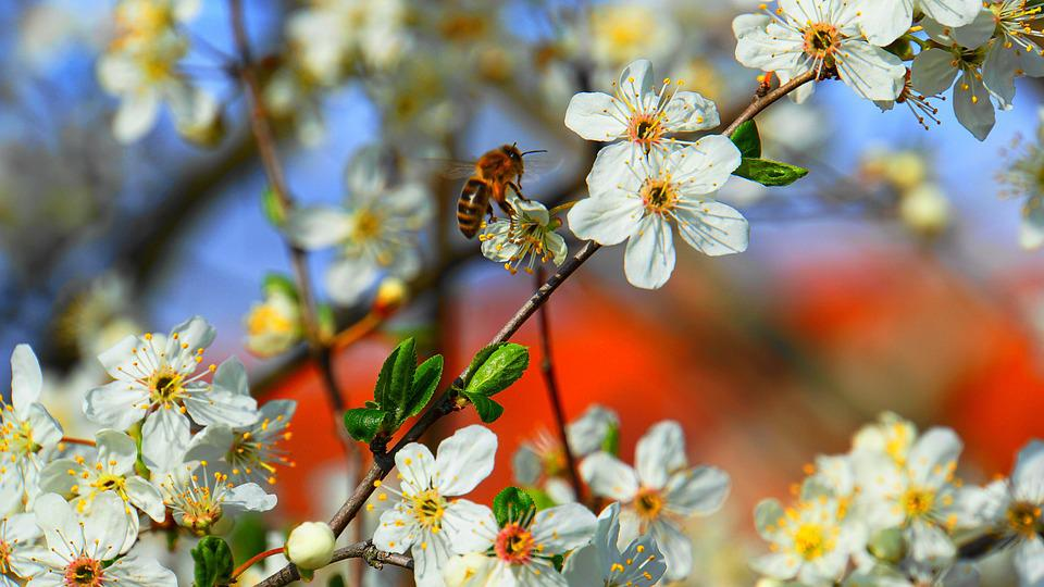 Honey Bee, Ape, Miele, Fiori, Primavera, Insetto
