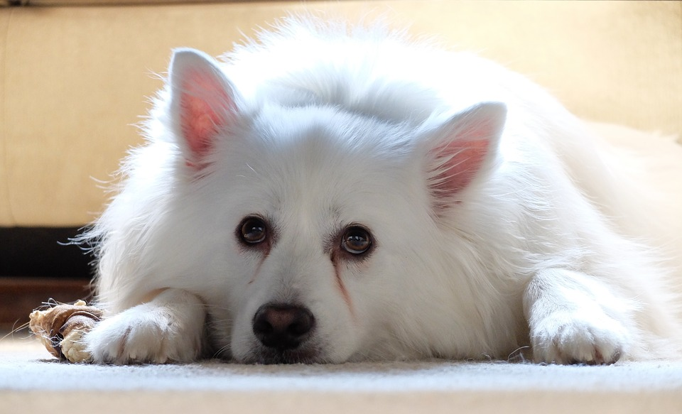 Dog, American Eskimo, Pet, Animal, Cute, White