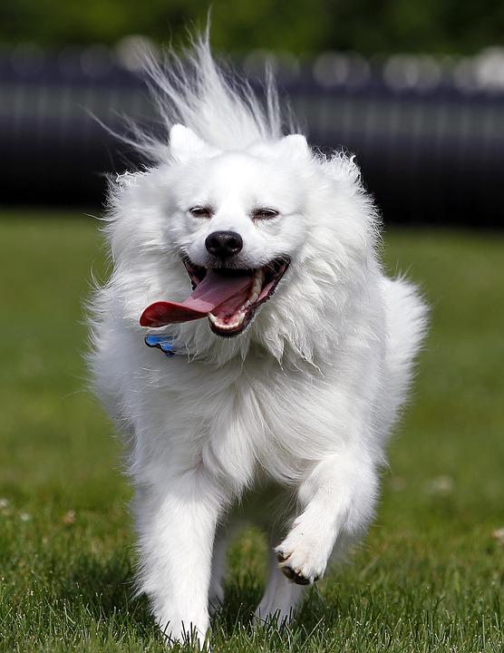 Perro, American Eskimo, Mascota, Animales, Lindo