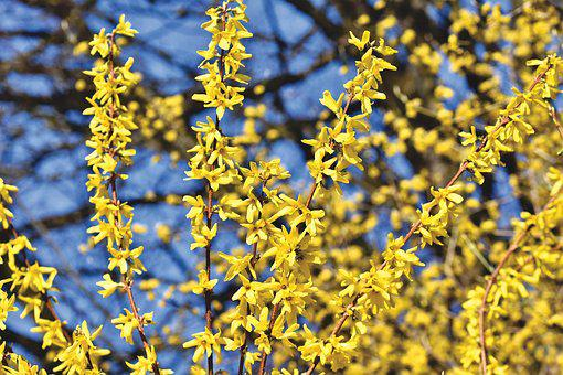 Hiver normand Forsythia-4091197__340