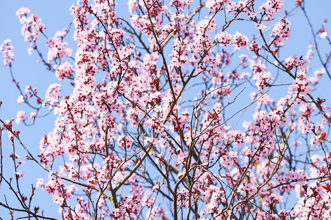Flowering Cherry Japanese Prunus Free Photo On Pixabay