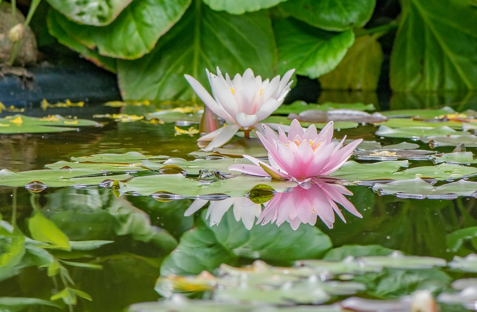 Ganz und zu Extrem Seerosen Teich Pflanzen - Kostenloses Foto auf Pixabay &VV_88