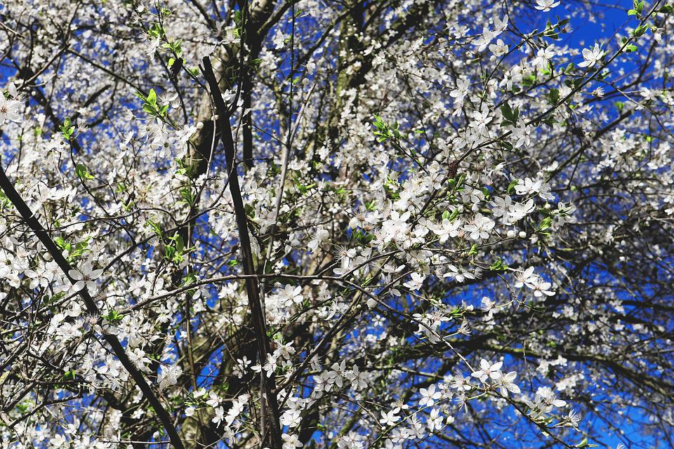 Japanese Cherry Trees Flowers Free Photo On Pixabay