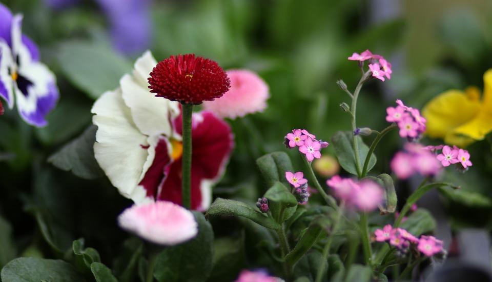 Panselute Flori Colorat Fotografie Gratuită Pe Pixabay