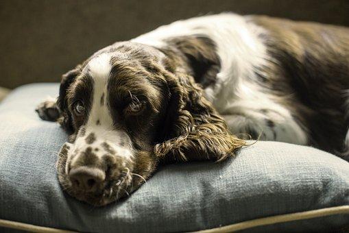Springer, Spaniel, Dog, Puppy, Pillow