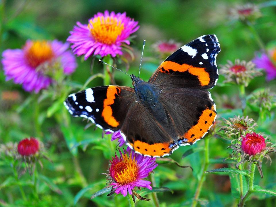 Schmetterling, Bunt, Wiese, Insekt, Admiral