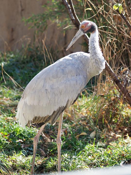 Indian Sarus Crane Zoo - Free photo on Pixabay