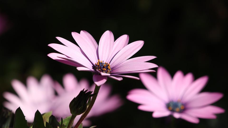 Bunga Aster Warna Foto Gratis Di Pixabay