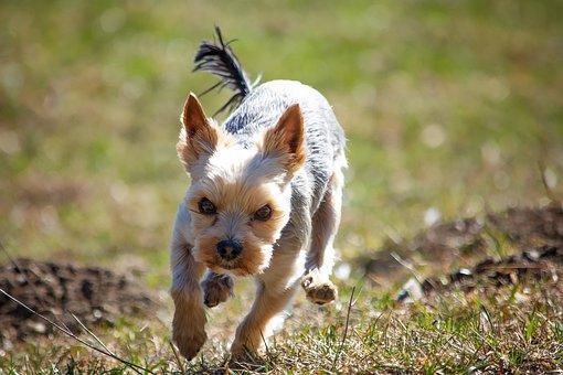 Perro, fuera, pradera, yorki, terrier, animal