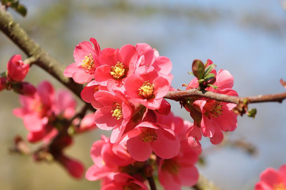 Ornamental Quince with red leaves