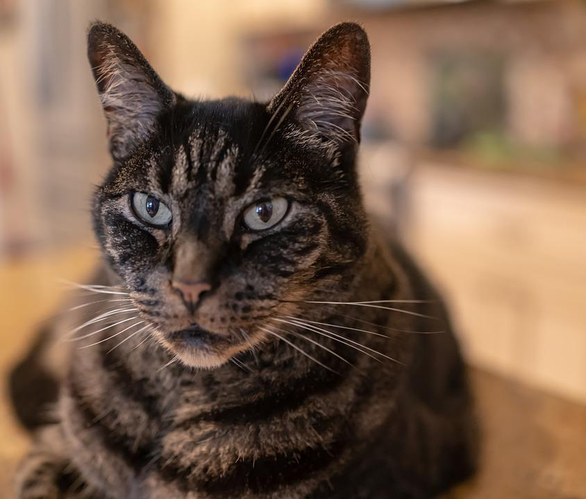 9d9cd138faee Γάτα Τιγρέ Κλείνω Κατοικίδιο - Δωρεάν φωτογραφία στο Pixabay