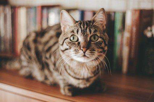 Katze, Tier, Kätzchen, Haustier, Pelz