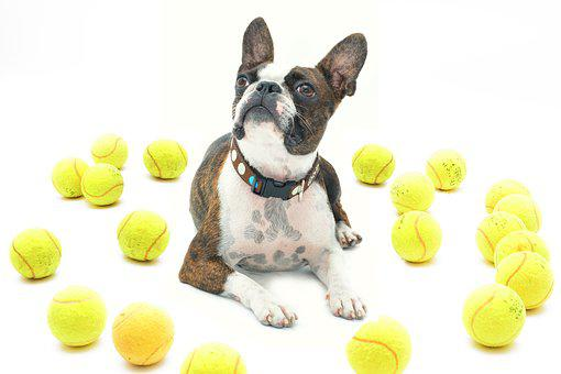 Jilly In, Boston Terrier, Dog, Balls