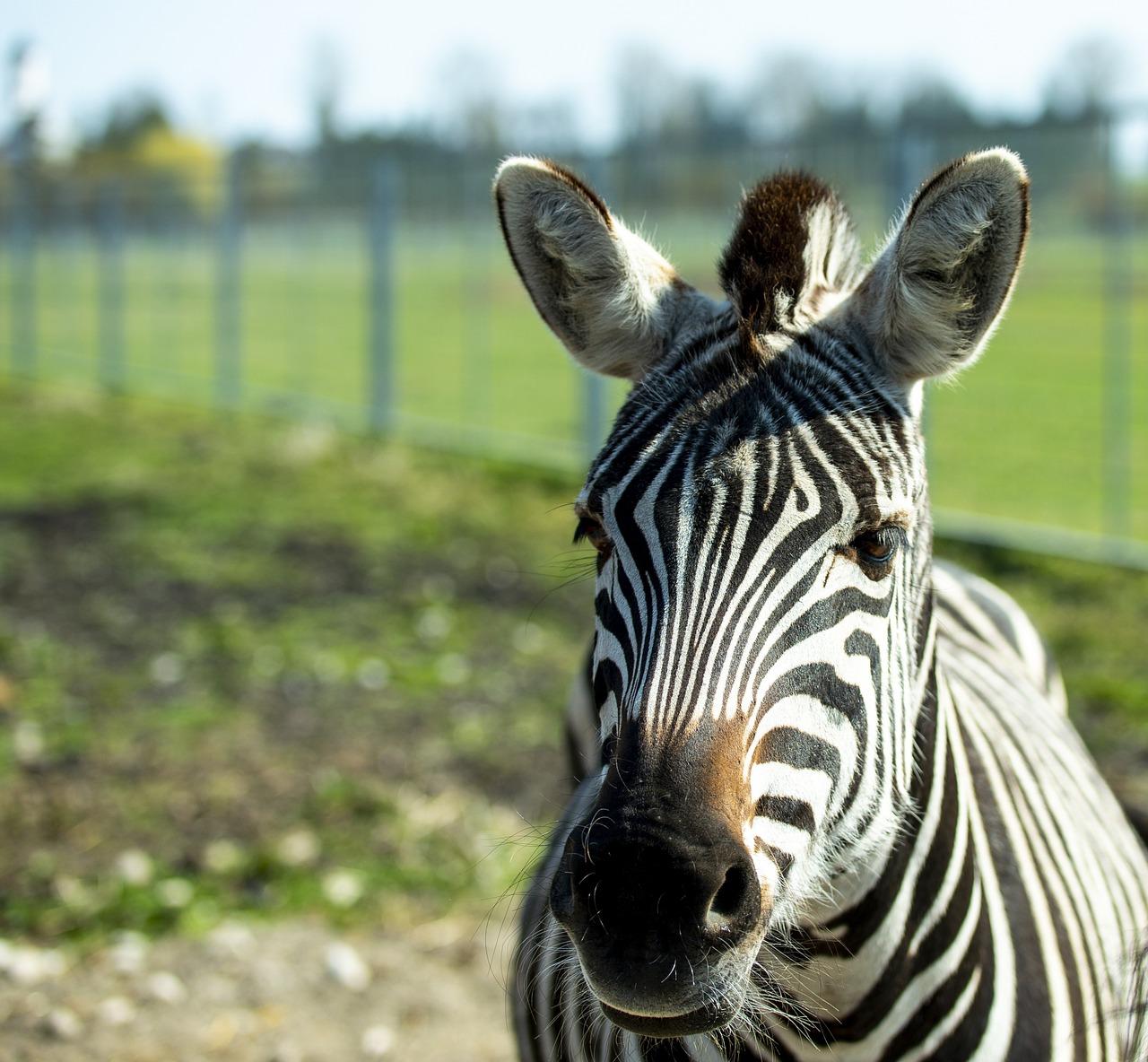 Приколы картинки зебра