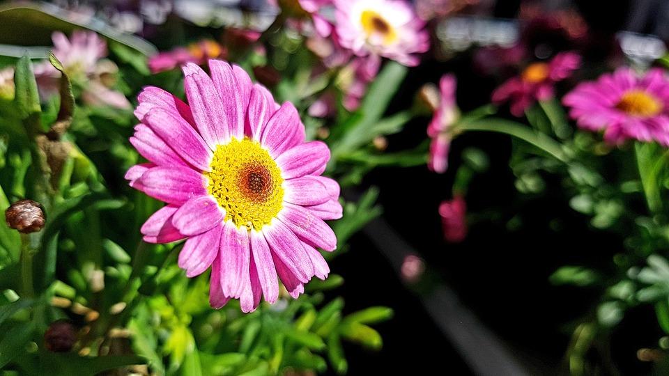 Außergewöhnlich Blüte Margerite Rosa - Kostenloses Foto auf Pixabay @RY_44