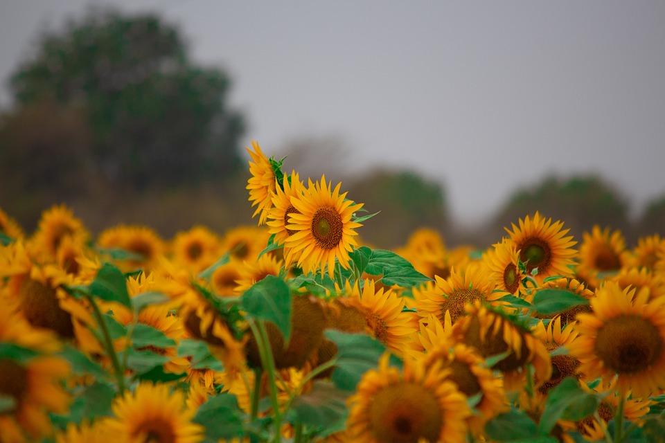 Campi Fiori Gialli.Fiore Del Sole Fiori Gialli Foto Gratis Su Pixabay