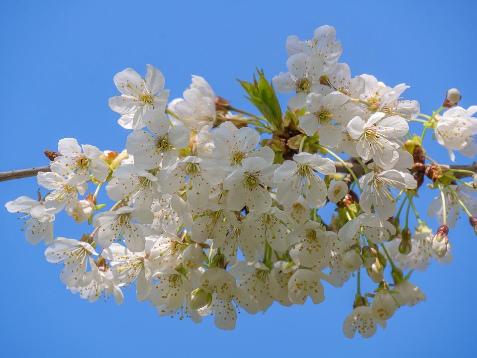 Fiori Bianchi Albero.Fiori Di Albero Bianchi Ramo Foto Gratis Su Pixabay