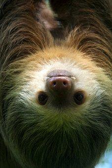 Sloth, Tropical, Nature, Animal