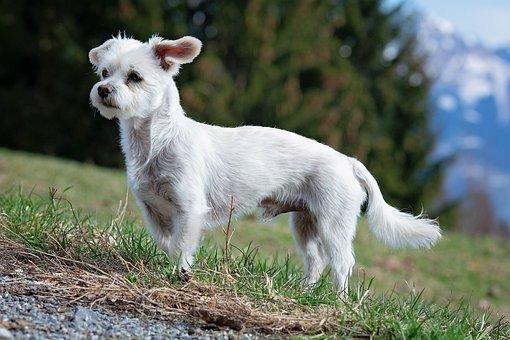 Cão, Branco, Masculino, Maltês-Havanese