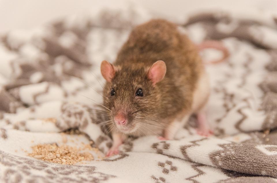 Råtta, Djur, Fin, Söt, Päls, Små, Pet, En Intressant