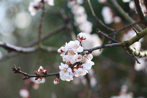 살구, 꽃, 봄, 과수원