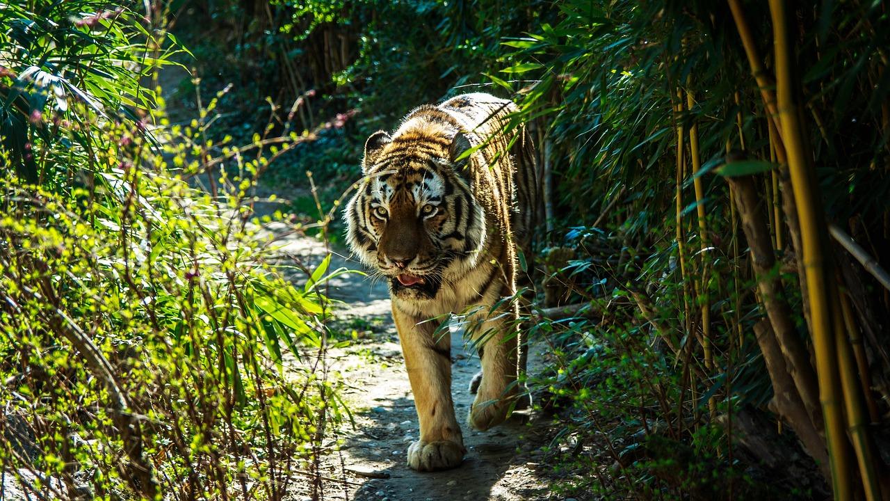 картинки тигр в джунгли является одним