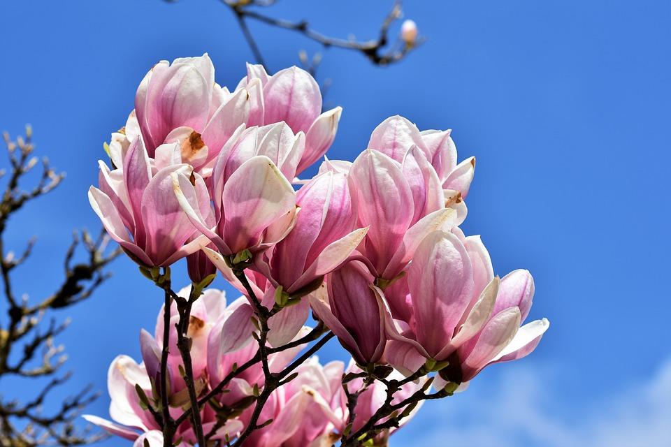 Magnolia Tree Flowers Free Photo On Pixabay