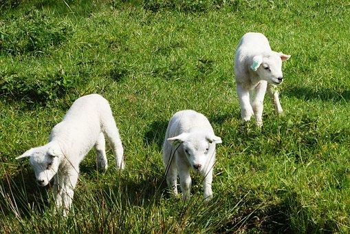 Резултат слика за lambs pixabay