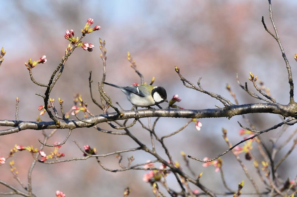 Natural, Landscape, Plant, Cherry Blossoms, Cherry Tree