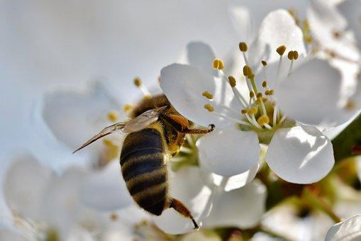 蜂, ハニー ・ ビー, 昆虫, 花粉, 蜜, 収集, 花, 梅の花, 梅の木