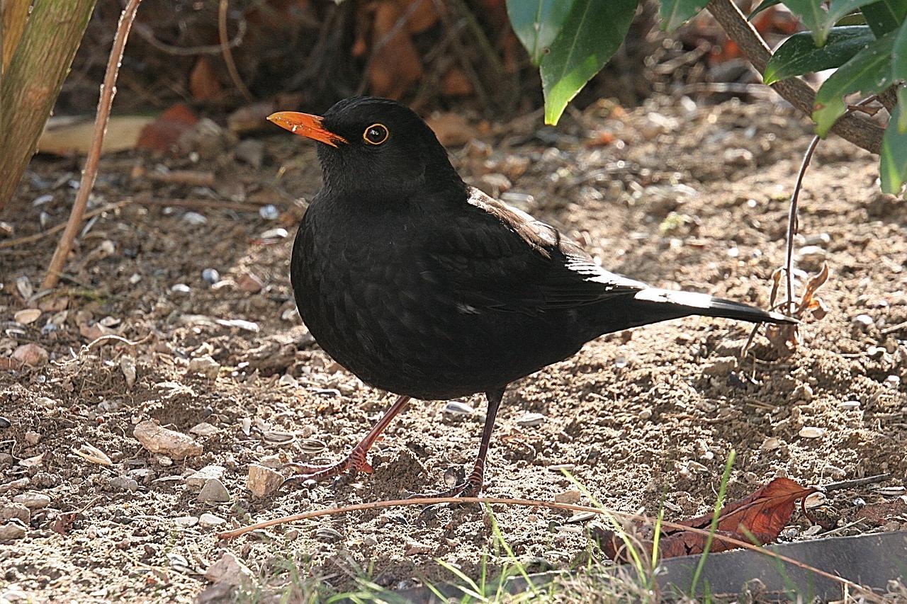 птица дрозд фото и описание отличие других