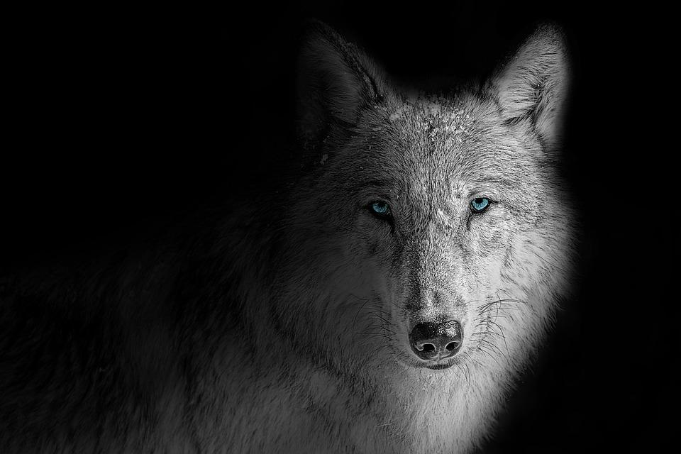 Wallpaper Background Wolf Free Photo On Pixabay
