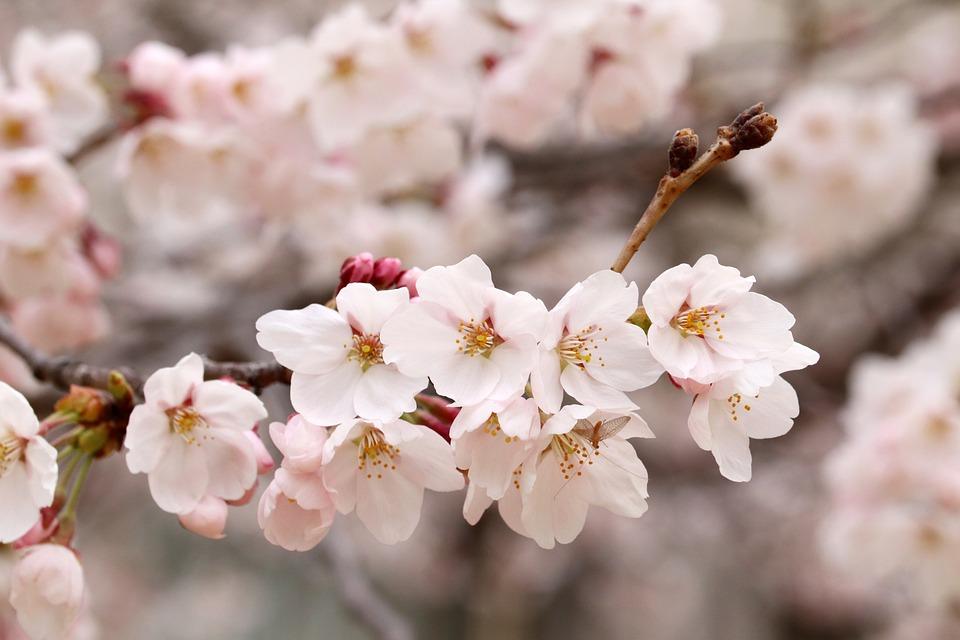 Fleur De Cerisier Printemps Fleurs - Photo gratuite sur Pixabay
