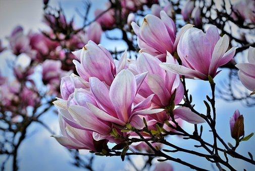 700 Free Magnolia Tree Magnolia Images Pixabay