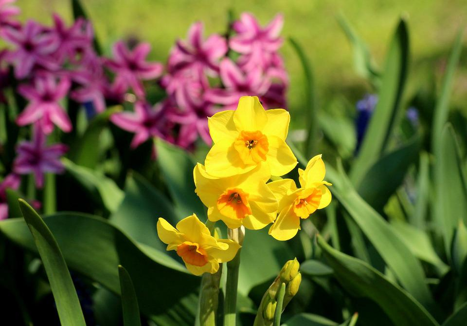 Daffodil Daffodils Spring Flowers Free Photo On Pixabay