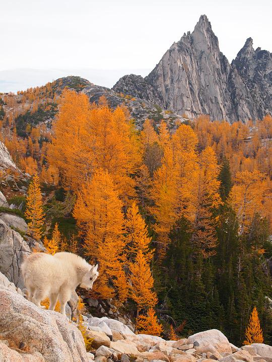Pesona, Cascade Mountains, Kambing Gunung Anak