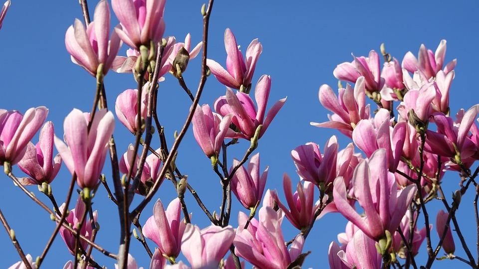 Magnolia Pink Spring Tulip Free Photo On Pixabay