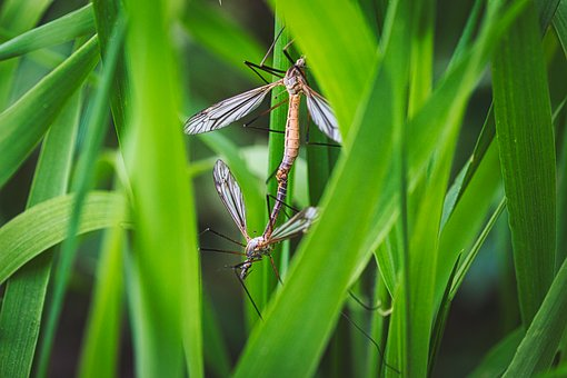 Pairing, Insect, Mosquitoes, Macro