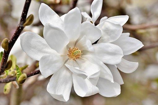 Magnolia, Magnolia Tree, Flowers