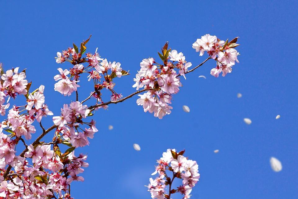 Bahar Kiraz Çiçeği Japon - Pixabay'de ücretsiz fotoğraf