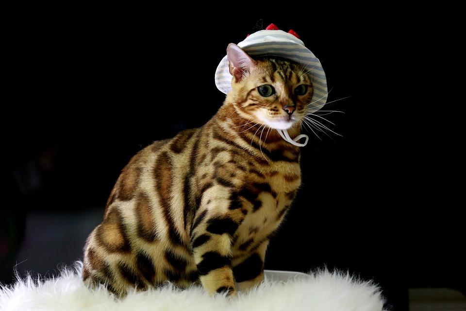Katze Bengal Baby Katzen Kostenloses Foto Auf Pixabay
